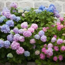 6月はアジサイの季節です。