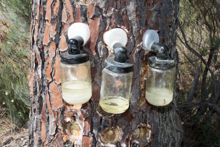 樹皮に含まれているポリフェノールなどは種類も量も豊富で抗酸化作用によりアンチエイジングに効果があるとされています。