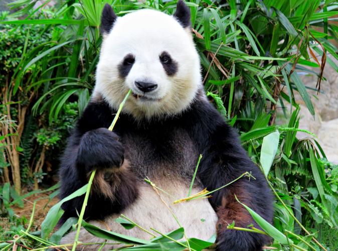ワシントン条約がある限り、パンダがありふれた動物にでもならないことにはレンタルでしか国内で見ることはできないとなります。
