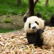 パンダ=上野という認識の古さ