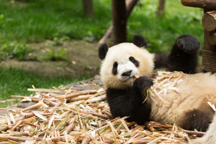 現在は2017年6月に生まれた仔を含め9頭のパンダが日本国内にいます。