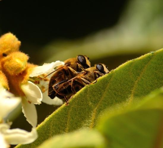ミツバチ「女王バチに性器をもがれて死ぬ」