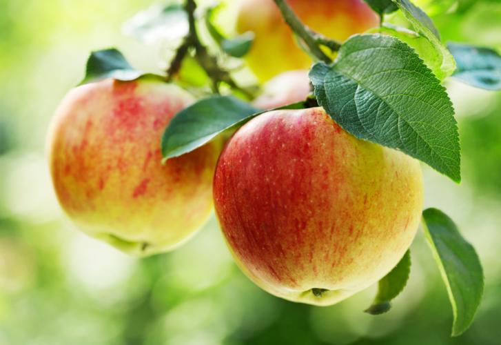 りんごも尿のアルカリ化を促します。
