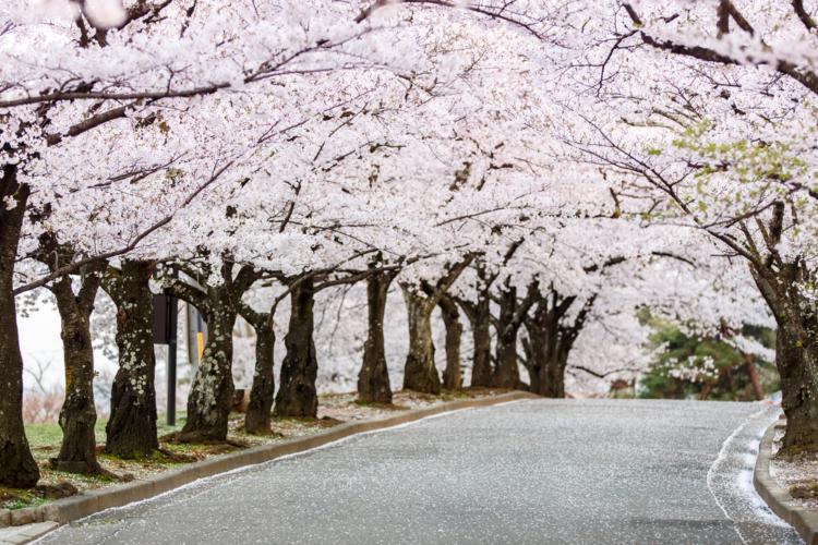 観光地にある桜の寿命はさほど長くはないかもしれません。