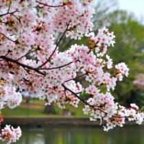 平年より5日早く開花した都内。日本人にとって大切な花、桜のあまり知られていない情報をご紹介します。