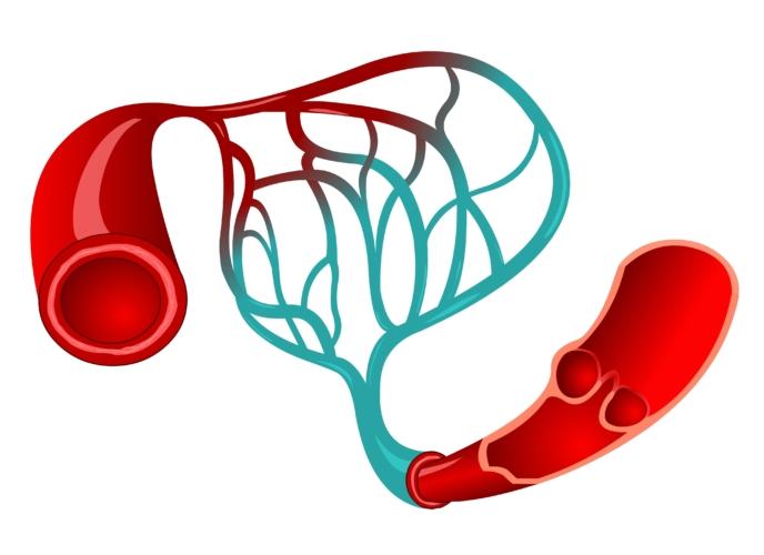 毛細血管は中年になると減り始める