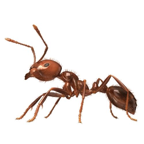 ヒアリは危険な生物なのでしょうか。