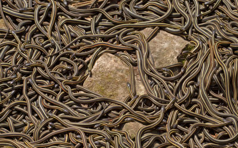 赤ガーターヘビ「総勢25000匹の乱交パーティー!1対100が基本」