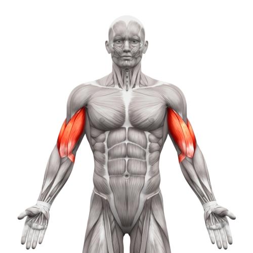 上腕二頭筋は特殊な筋肉