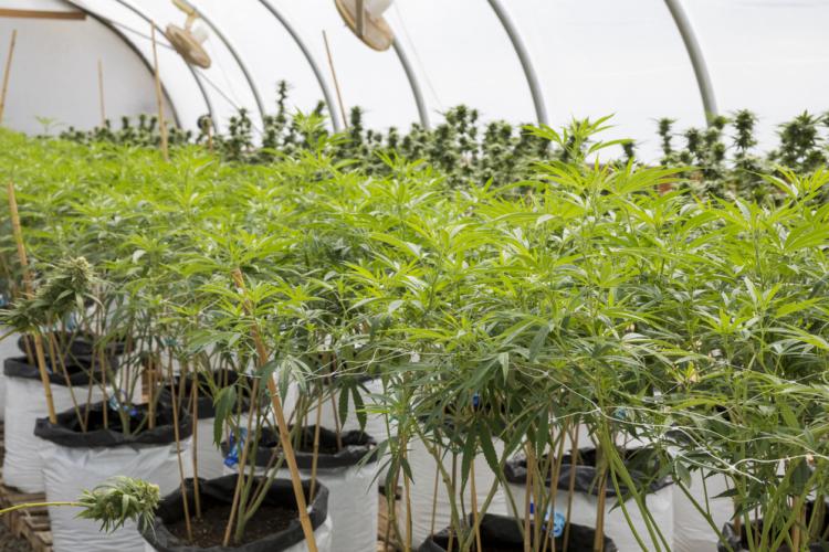 大麻関連のベンチャー100社以上が上場