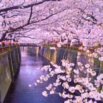 春の風物詩の1つ「お花見」